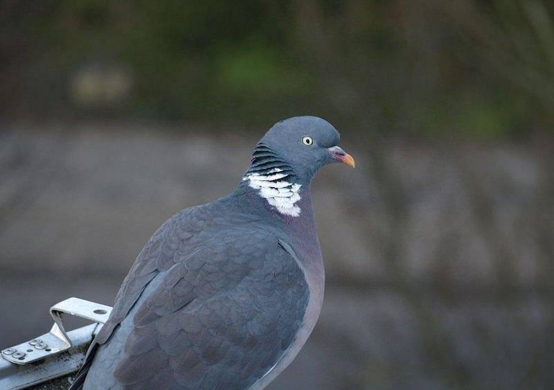 Охота на диких голубей