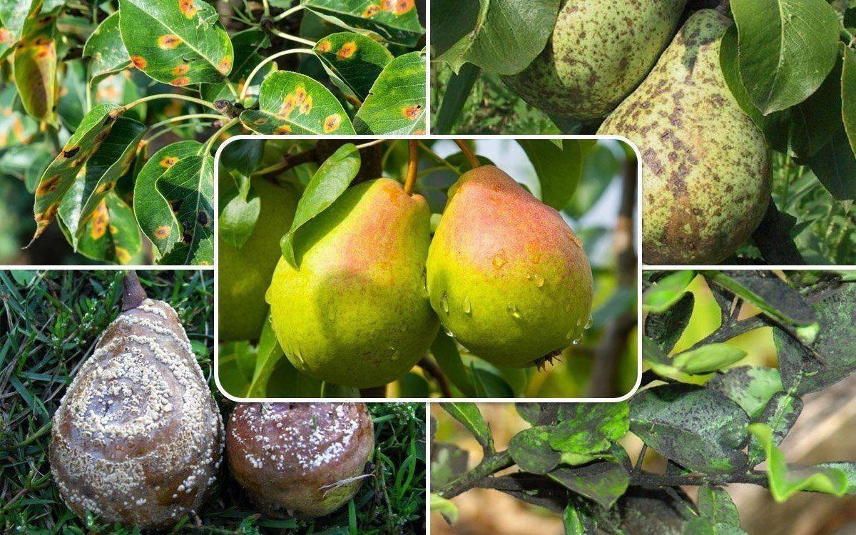 Ржавчина на груше: чем лечить желтые и ржавые пятна на листьях