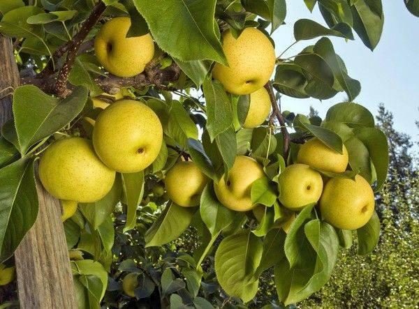 Китайская груша — польза и вред, калорийность плода