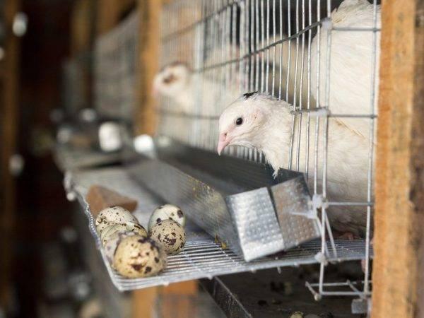 Перепелиные кормушки: обзор видов, примеры самостоятельного изготовления