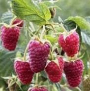 Малина сорт зева: нежные ягоды до самых заморозков
