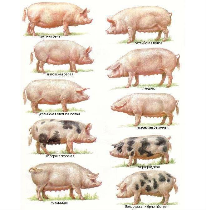 Беконная порода свиней – особенности мясного направления 2020