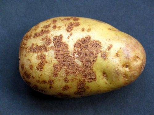 Картофель лунная ночь — описание сорта, фото, отзывы, посадка и уход