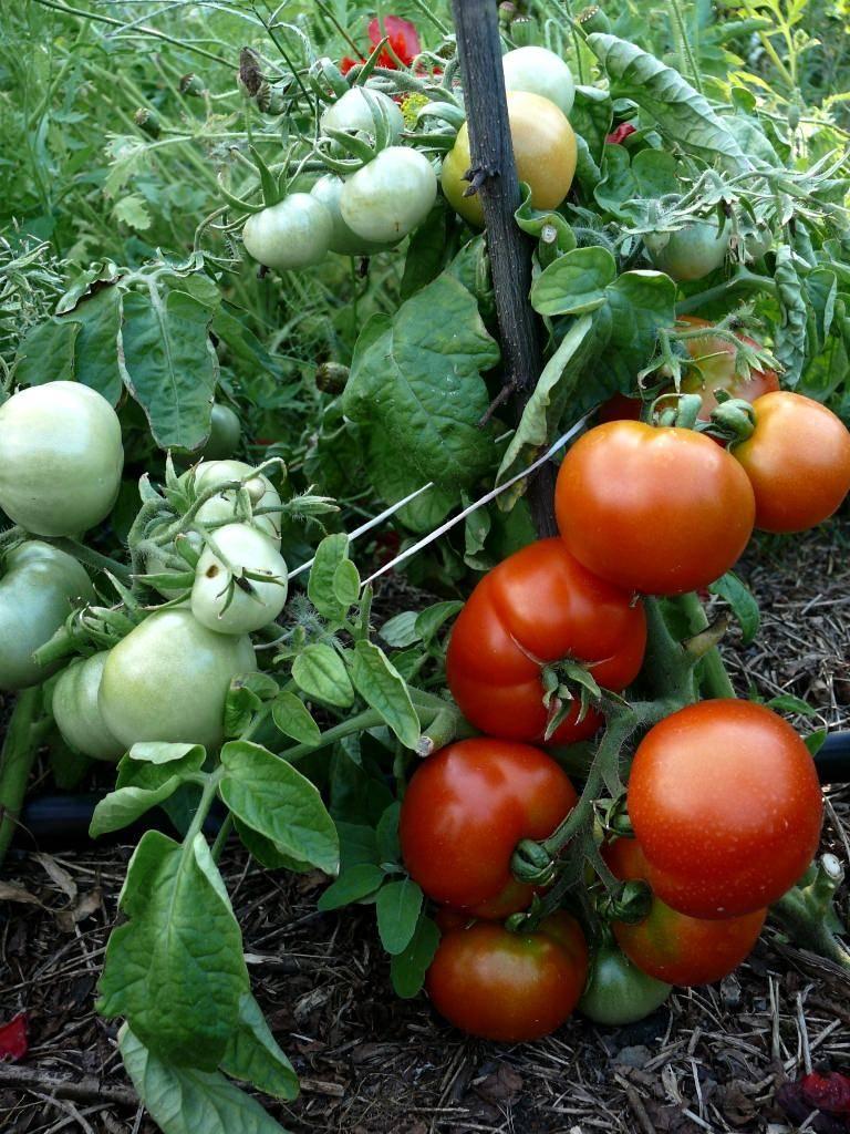 Томат дубрава - как посадить и вырастить хороший урожай своими руками (90 фото)
