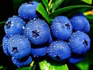 Голубика торо: описание и характеристики сорта, посадка и уход, болезни