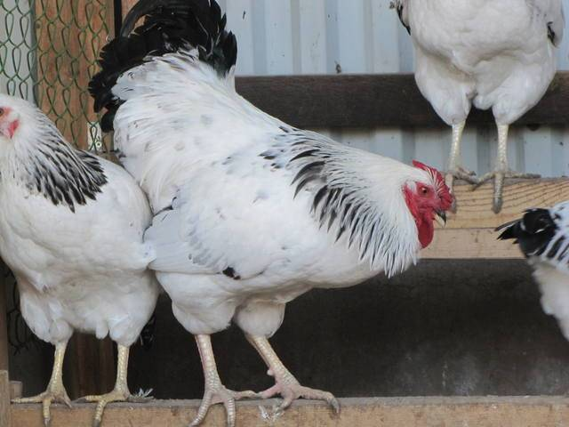 Первомайская порода кур: фото, характеристика, особенности