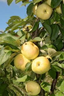 Лучшие сорта колоновидных яблонь для средней полосы
