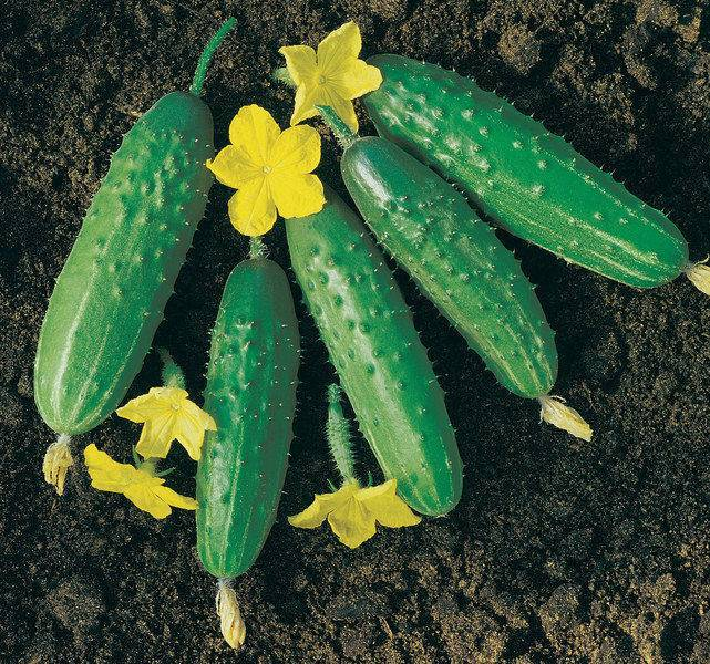 Огурец маша f1: описание сорта, фото, отзывы, урожайность, правила выращивания