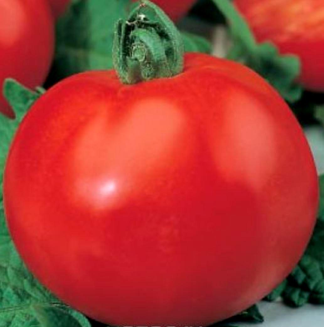 Томат никола — описание сорта, урожайность, фото и отзывы садоводов
