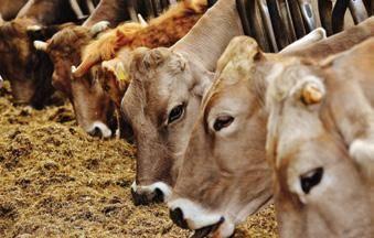 Лейкоз крс: лечение, признаки у телят, профилактика и диагностика — чем опасен вирус крови коровы для человека и можно ли пить молоко — moloko-chr.ru