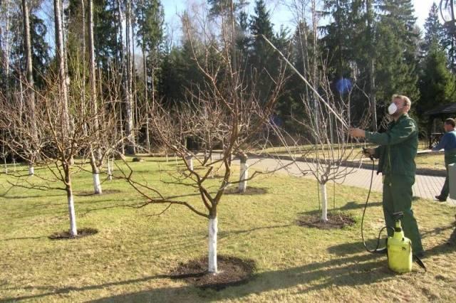 Как избавиться от мха и лишайников на плодовых деревьях?