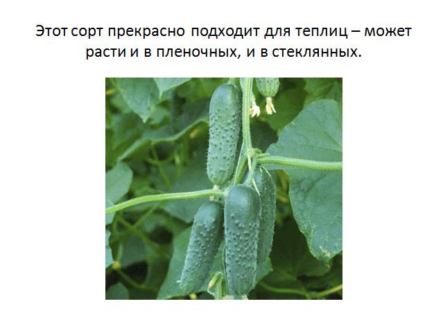 Особенности выращивания и уход за огурцами «маша f1»