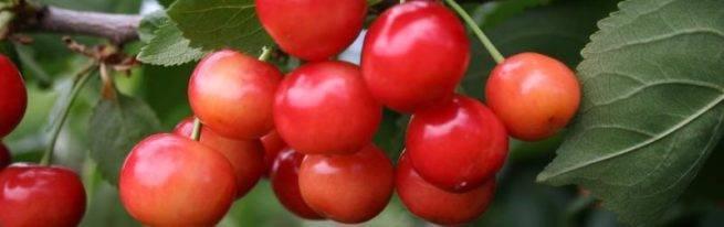 Вишня жуковская: описание сорта и фото, выращивание и уход, опылители, болезни и вредители