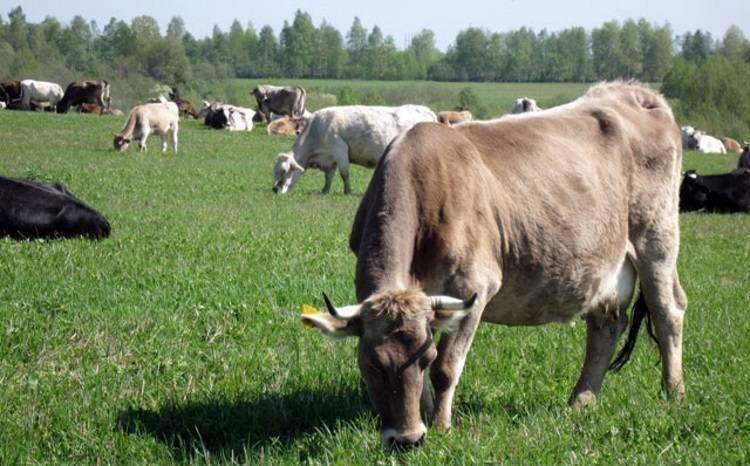 Костромская порода коров: характеристика телок, быков, телят - фото и отзывы