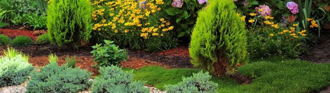 Отличие туи от можжевельника: описание растений, характеристики, в чем разница
