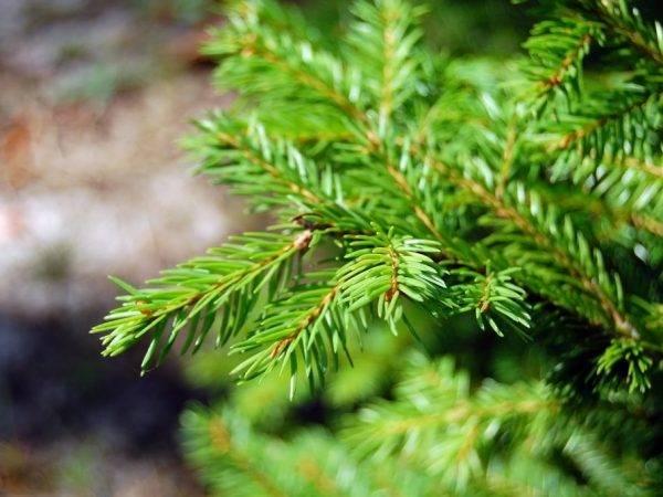 Можжевельник обыкновенный хиберника (juniperus communis hibernica)