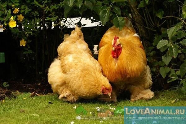 Кохинхин: знаменитая порода кур с необычайной кротостью характера и высокой выставочной ценностью