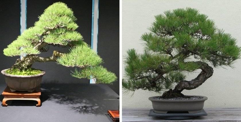 Деревья бонсай: как вырастить бонсай дома, уход за японскими деревьями