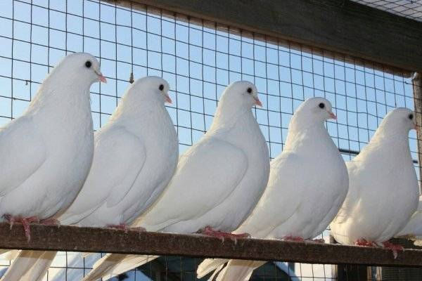 Сколько живут голуби в домашних условиях