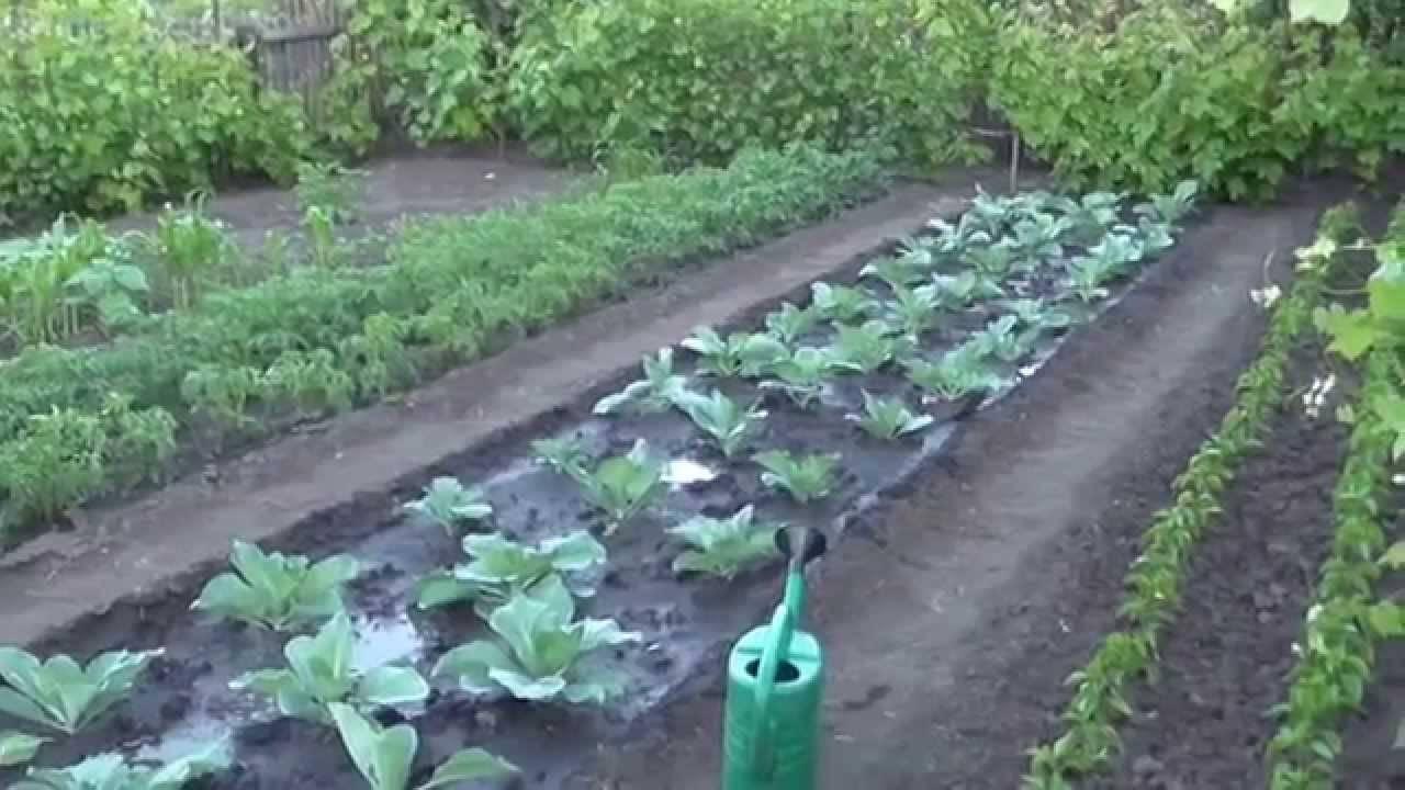 Чем обработать капусту от блошки? вопрос, который волнует опытных огородников