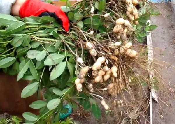 Где и как растет арахис