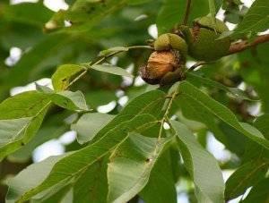 Болезни листьев грецкого ореха