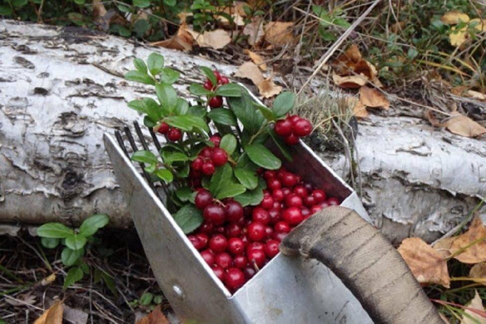 Сбор ягод: ягодный календарь лесных ягод и садовых. как собирают ягоду, какие ягоды и когда можно собирать: бруснику, клюкву, чернику, землянику. чем полезна ягода