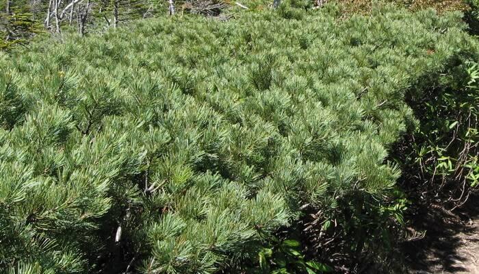 Кедровый стланик (38 фото): описание низкой сосны стланиковой. особенности ее посадки и секреты ухода за сосной