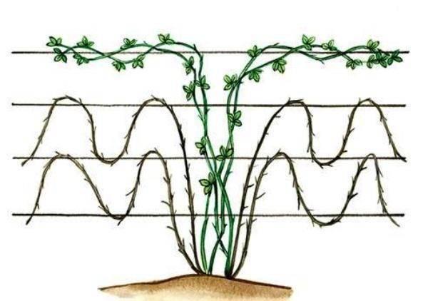 Особенности агротехники ежевики в подмосковье