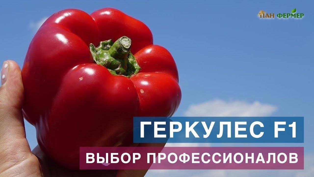 Перец геракл: крупноплодный позднеспелый сорт