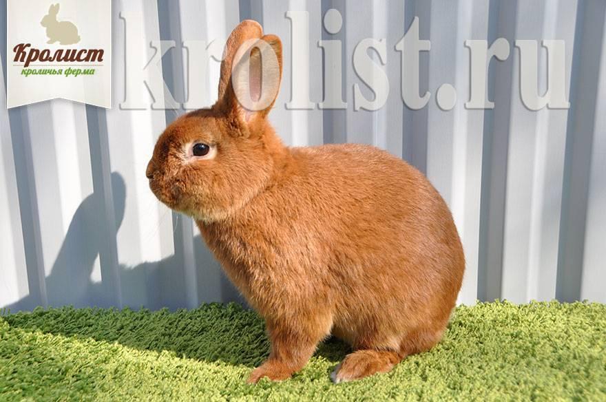 Кролики ризен: описание, выбор, уход, размножение