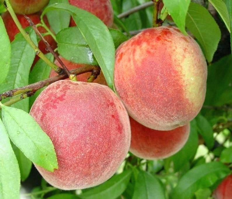 Персик фаворит мореттини: характеристика сорта, достоинства и недостатки, технология посадки, особенности выращивания, отзывы
