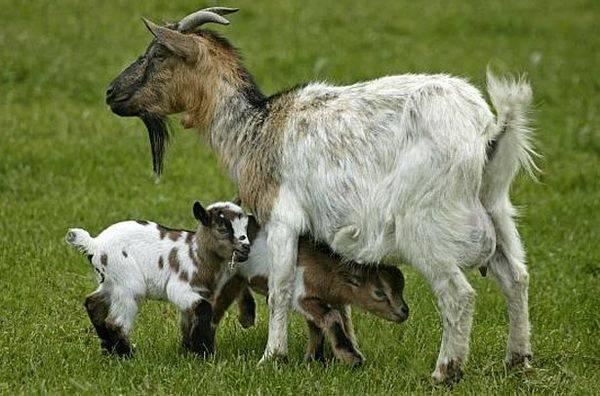 Камерунская мини-коза — идеальный друг и кормилец. описание породы, содержание и уход