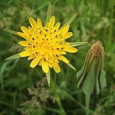 Козлобородник луговой, пореелистный, сомнительный, восточный, сибирский, большой: что это такое, описание полезных свойств, применение корня и травы, фото растения