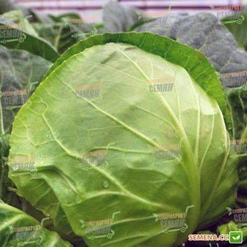 Характеристика капусты сорта бронко