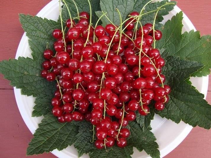 Сорт красной смородины мармеладница фото