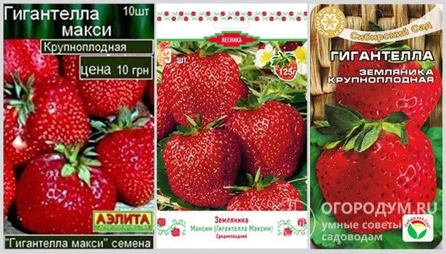 Клубника гигантелла максим: описание сорта, правила выращивания для хорошего урожая и отзывы садоводов, кто сажал