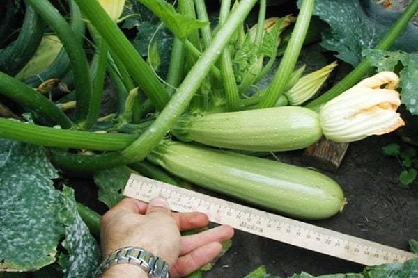 Описание сорта кабачка грибовский, особенности выращивания и урожайность