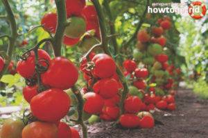 Вкуснейший фаворит салатных изысков — томат душечка f1: характеристика и полное описание сорта