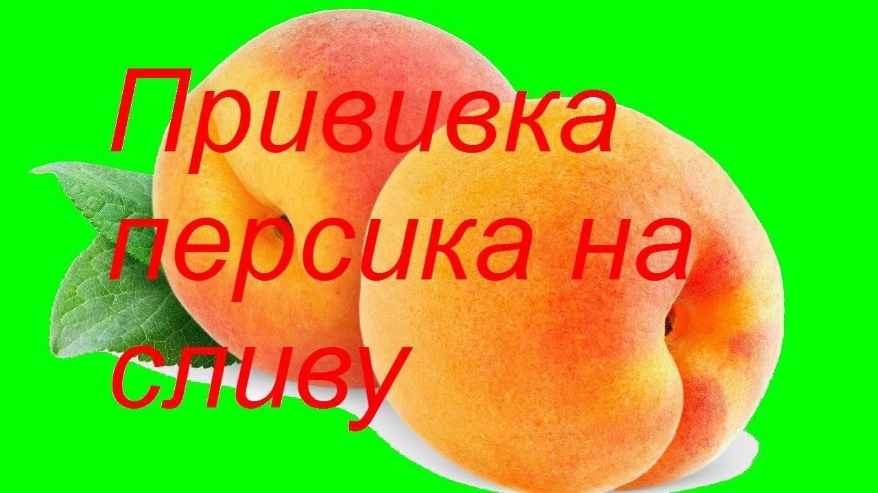 Прививка абрикоса весной: сроки, способы и их поэтапные инструкции