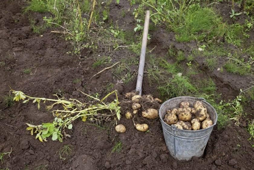 Кольцевая гниль картофеля меры борьбы