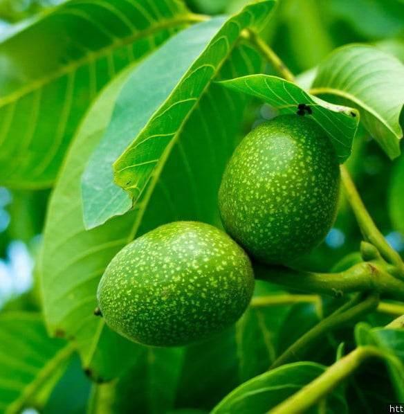 Листья грецкого ореха: полезные свойства и противопоказания, применение в народной медицине