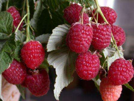 Подробное описание сорта малины зюгана с отзывами садоводов (урожайность с одного куста)