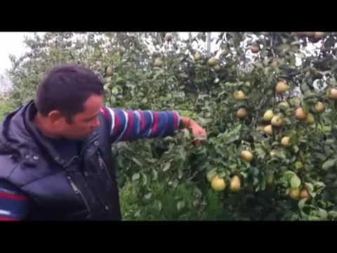 Топ-7 сортов груш для белоруссии