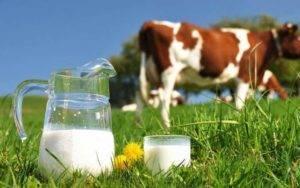 Первая дойка коровы после отёла (как и когда доить?)