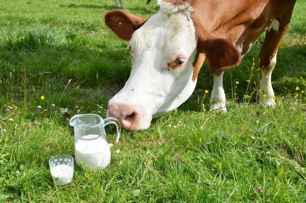 От чего зависит плотность молока у коров?