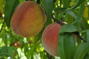 На что можно привить нектарин. когда и как прививать персик весной и летом: способы и их пошаговые инструкции. ошибки при проведении прививки