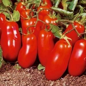 Томаты челнок: особенности сорта и правила выращивания