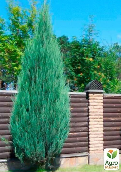 О можжевельнике скайрокет скальный: описание сорта, как посадить и ухаживать