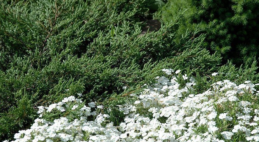 Обрезка можжевельника - 130 фото посадки, ухода и размножения можжевельника